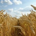 Grain Cropped